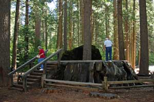 Big Stump in Big Trees State Park, CA