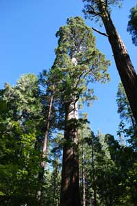 Tall sequoia in North Grove of Big Trees State Park, CA